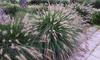 Set Pennisetum 'Hameln'planten