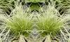 3 o 6 piante erbacee di Carex