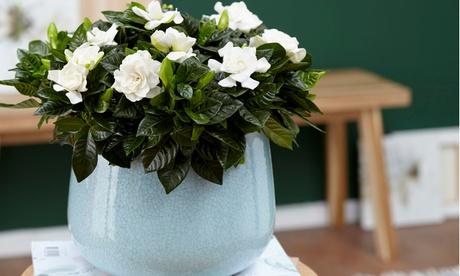 2 o 4 plantas de Gardenia Jasminoides con envío gratuito