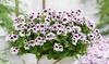 Set di 6 piante di Pelargonium antizanzara