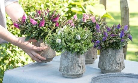 6 o 12 arbustos Hebe mezclados, resistentes al invierno