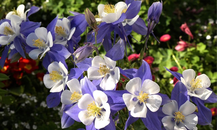 Up To 68 Off On Sweet Caroline Columbine Bulbs Groupon Goods
