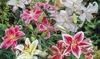 Fragrant Mixed Oriental Lilies (6 Bulbs): Fragrant Mixed Oriental Lilies (6 Bulbs)