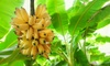 Banano Tropical da interno