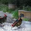 Poules LED solaires pour jardin
