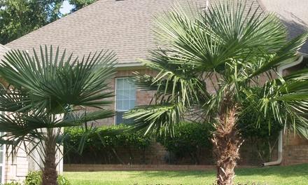 1 of 2 Chinese palmbomen van 7090 cm