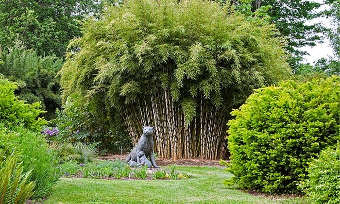 three bamboo fargesia rufa plants groupon goods. Black Bedroom Furniture Sets. Home Design Ideas