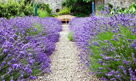 Hidcote and Munstead English Lavender Collection 24, 48, 72, 144 or 288 Plants