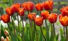 Brown Sugar Tulips