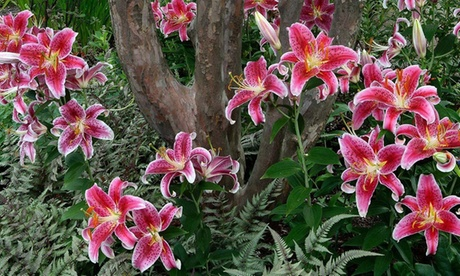 Giant Stargazers Oriental Lily Bulbs (10-, 20-, or 50-Pack)