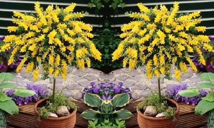 Set de 2 macetas de cytisus 70-80 cm