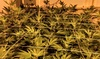 Up to 58% Off Cannabis Grow Walking Tour from Weed Bus LA