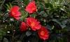 Camellia 1001 Summer Nights Jasmine Plant in 1.6L Pot