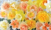 25 or 50 Bulbs of Daffodil Citrus Sorbet Mix