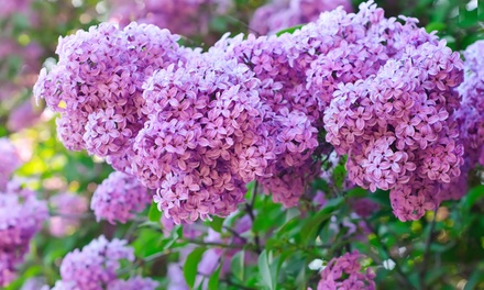 3 or 6 Scented Lilac Plants