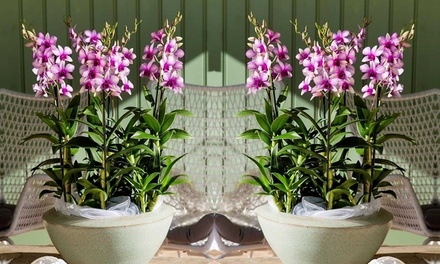 Two or Four Exotic Dendrobium Orchids