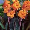 Cannas Plant Bulbs. Multiple Varieties. (6-Pack)
