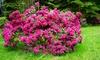 Arbusto di rododendro Bollywood XL
