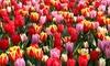 Pre-Order: Holland's Best Tulips (25-Pack): Pre-Order: Holland's Best Tulips Bulbs (25-Pack)