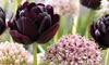 6 Black Tulip and Silver Allium