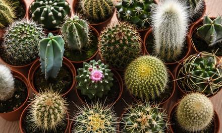 collection de mini cactus groupon. Black Bedroom Furniture Sets. Home Design Ideas