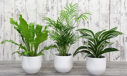 Scandi Inspired Mixed House Plant Collection