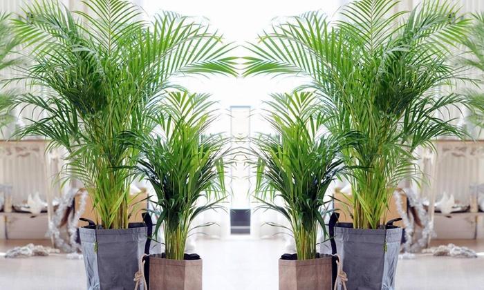 Palme Für Drinnen 2er set palmen für drinnen groupon goods