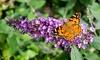 Set di 3 o 6 piante Butterfly Buddleja