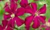 Three Repeat Flowering Clematis