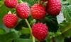 Pack de 3 ou 6 arbustes de framboise (Rubus ideaus)