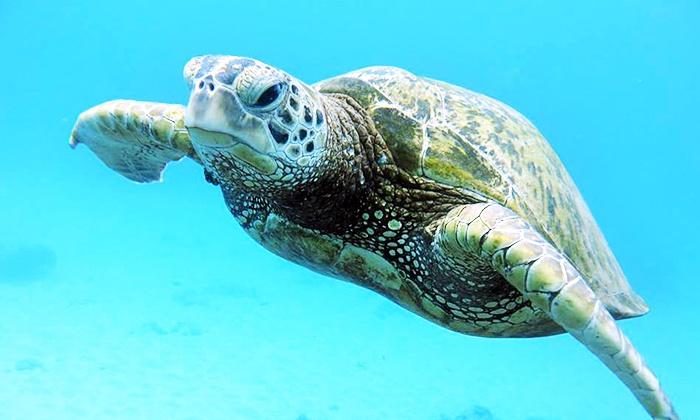 Aqua Zone Scuba Diving - Ala Moana - Kakaako: One or Two Sea Turtle Snorkel Adventures at Aqua Zone Scuba Diving (Up to 46% Off)