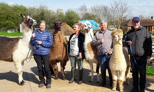 Simply Alpaca: Alpaca Walking Experience with Drinks and Cake for Two or Four at Simply Alpaca