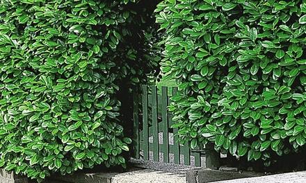 12 cherry laurel hedge plants groupon goods. Black Bedroom Furniture Sets. Home Design Ideas