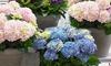 Set van 3 grootbladige hortensia's 'Hydrangea macrophylla'