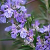 """Rosemary Tuscan Blue Culinary Delight 4"""" Potted Plant"""