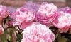 Sarah Bernhardt Peony Roots (3- or 6-Pack)