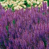 """Salvia Maynight 3"""" Potted Plants (2-Pack)"""