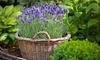 Six Lavender Plants