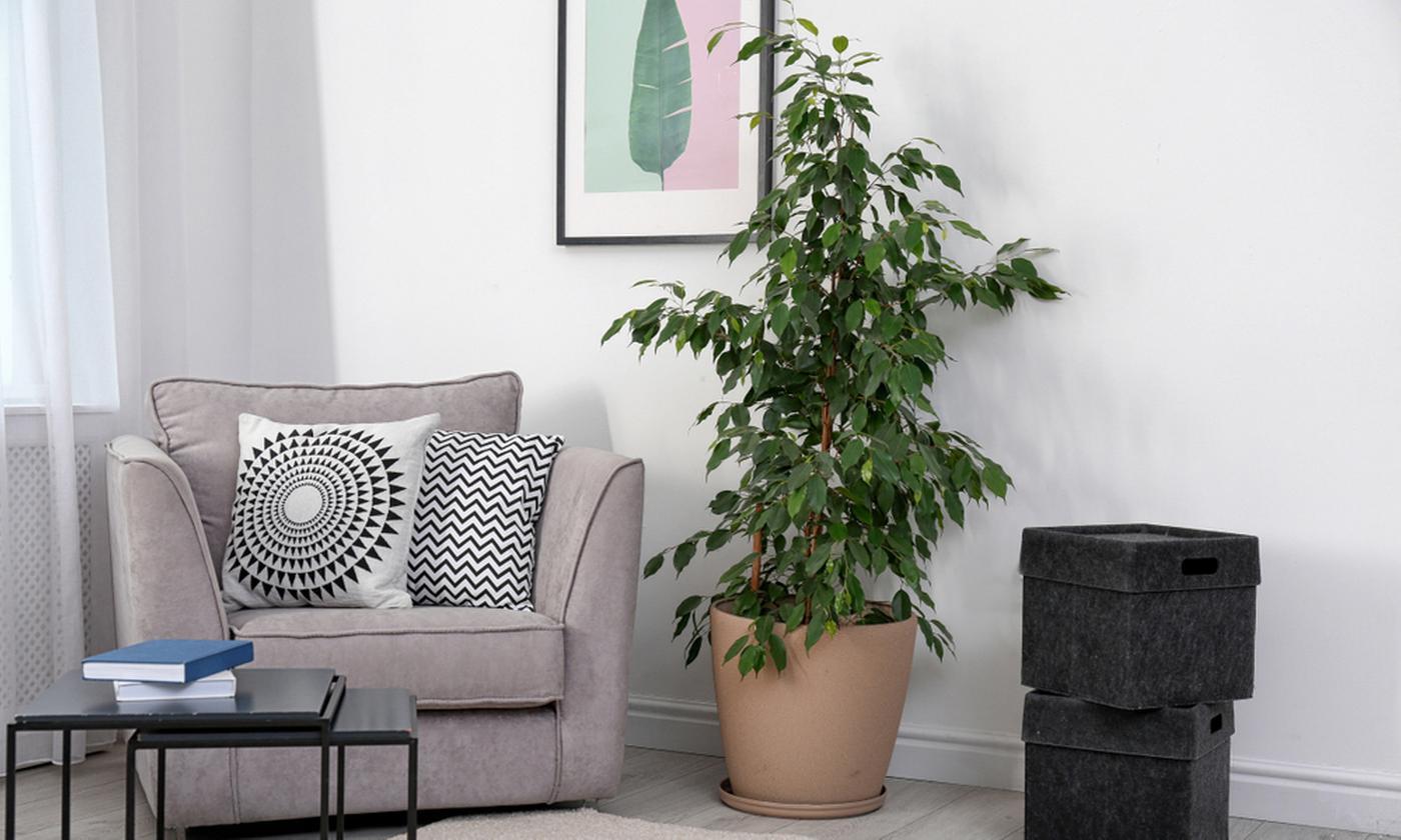 Ficus Benjamina Fig Natasja or Kinky Plant