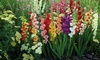 Gladiolus Mixed Flower Bulbs Plus Planting Tool (50-, 100-, 200-Pack): Gladiolus Mixed Flower Bulbs Plus Planting Tool (50-, 100-, 200-Pack)