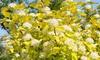 2 ou 4 physocarpes, arbustes décoratifs