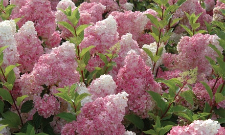 Hydrangea Vanilla Fraise up to 3 Plants with Optional Planters