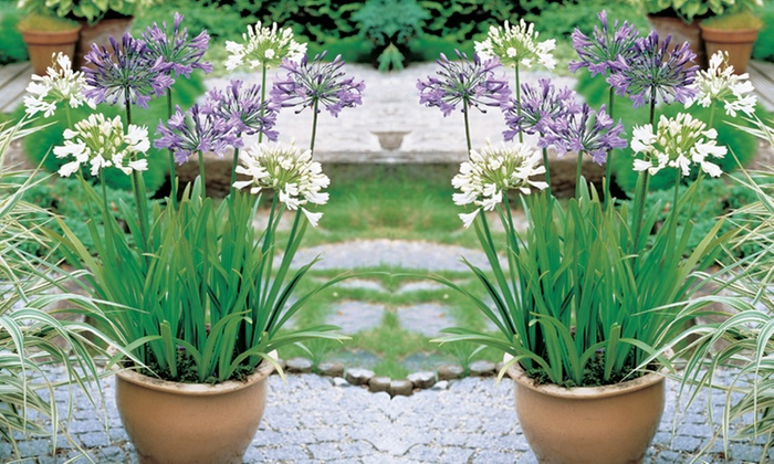 6 Or 12 Hardy Agapanthus Plants Groupon Goods