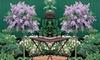 Dwarf Lilac Standard Plant