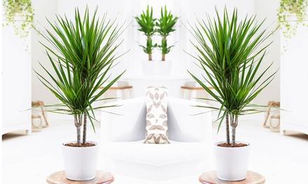 Pack de 3 Grands Palmiers XL 60-80 cm : Dragonnier des Canaries, Areca et Yucca