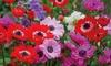 Anemoon-bloembollen
