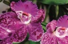 Up to 60% Off Orchid Mania Show at Cleveland Botanical Garden