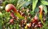 "Carnivorous Plant - Large Sarracenia Cobra Nest in 6"" Pot: Carnivorous Plant - Large Sarracenia Cobra Nest in 6"" Pot"