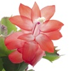 "Live 4"" Christmas Cactus Plants (3-Pack)"