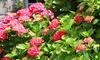 Lot de 6 hortensias rouges